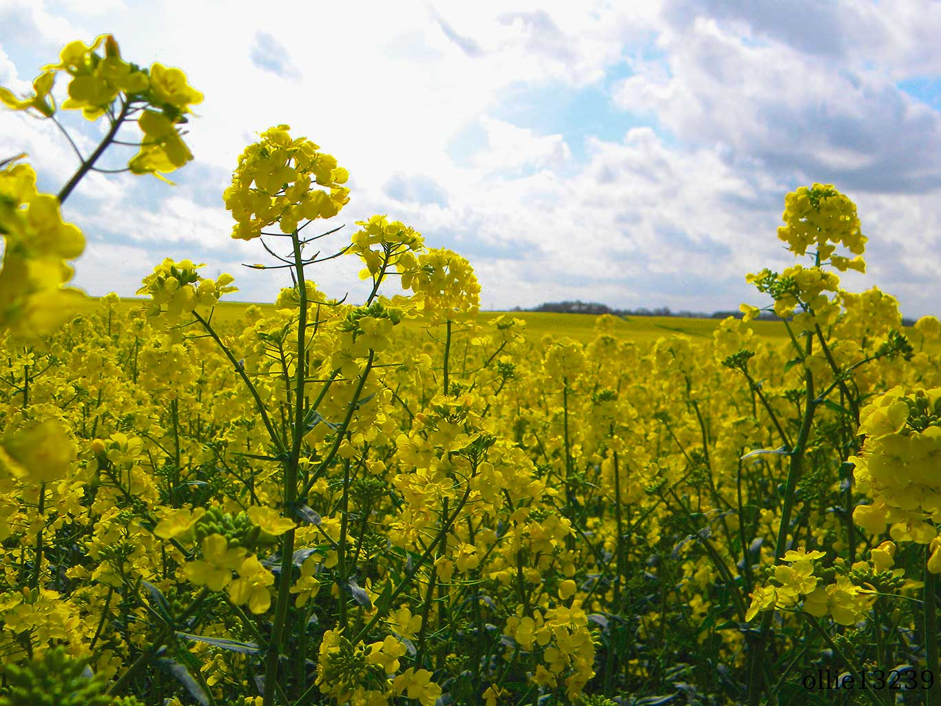 Rapeseed_field_taken_by_oliver_snowden-web